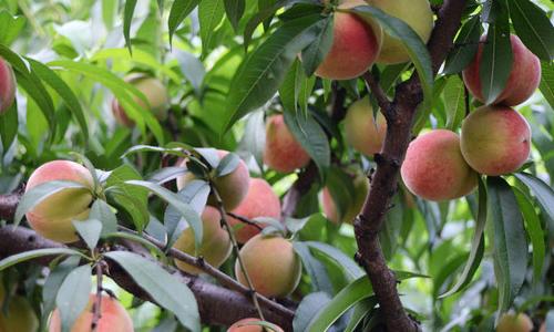 描写桃树的作文350字