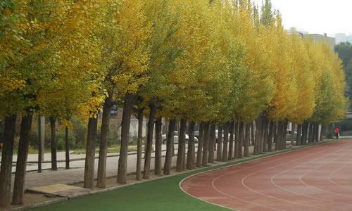 操场北边有一排高大的梧桐树,梧桐树的叶子有的还是那么翠绿,有的绿中