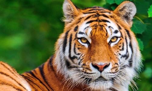 """小动物的欢笑声停止了,惊恐的眼神四处张望,大喊着:""""老虎来了,老虎来"""
