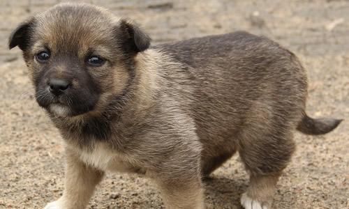 狗的智力在低等动物界中也是非比寻常的