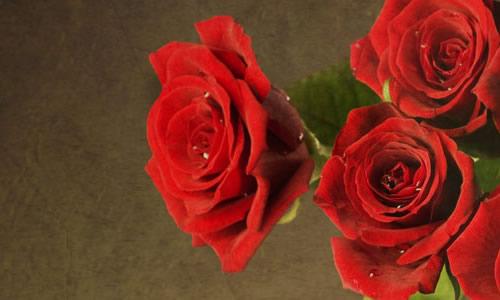 那玫瑰花像一位羞答答的小姑娘