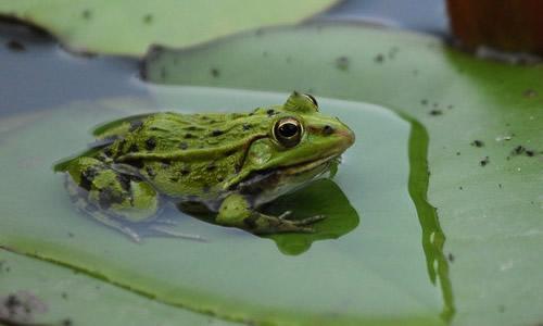 青蛙的启示作文