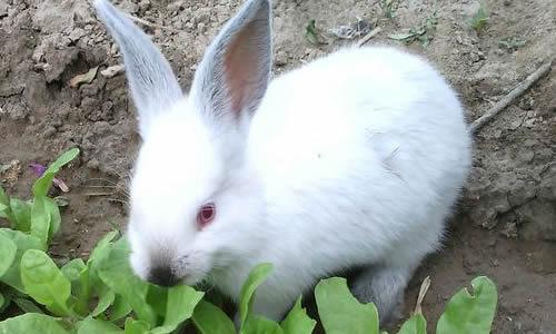话题作文   1看小白兔吃食