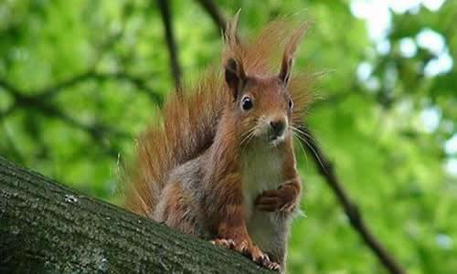 松鼠的尾巴可以用来做降落伞