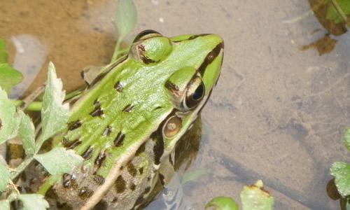 青蛙的启示作文250字