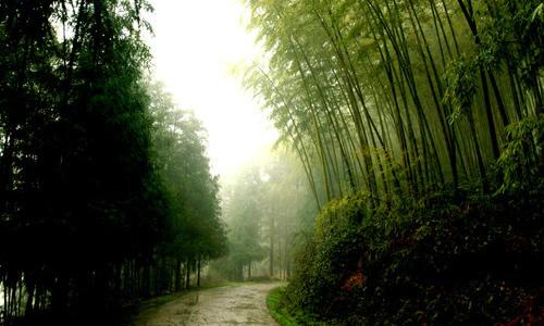 雨后的竹林作文