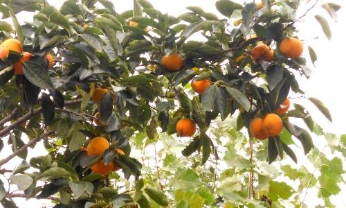 秋天的果园作文150字图片