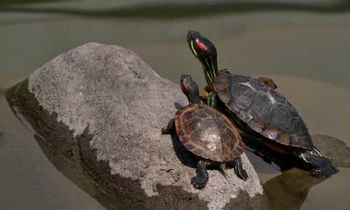 三年级龙虎娱乐app观察乌龟