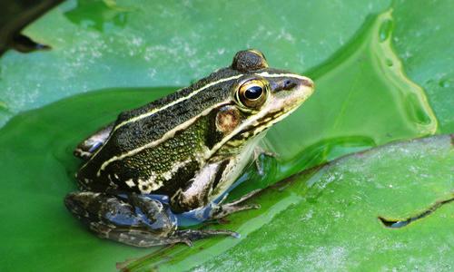青蛙的启示作文500字