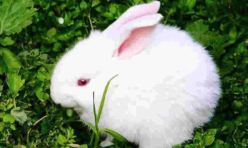 作文我家的小白兔300字