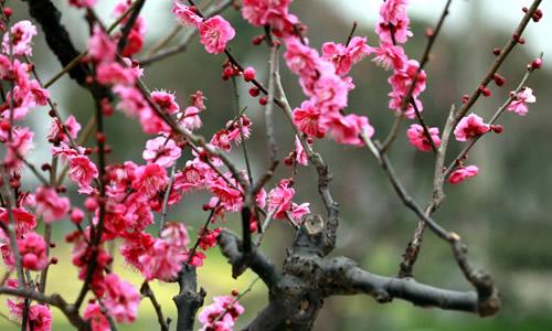 盛开的梅花作文