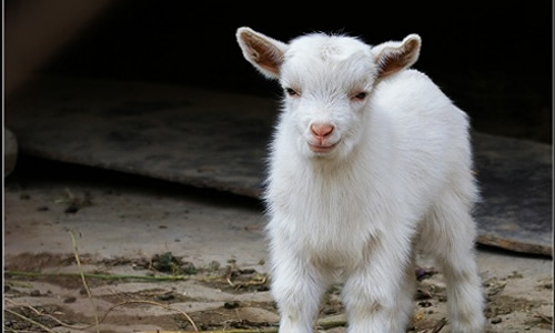 可爱的小羊作文350字