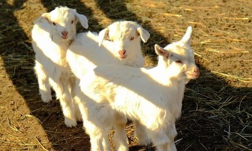 可爱的小羊作文400字
