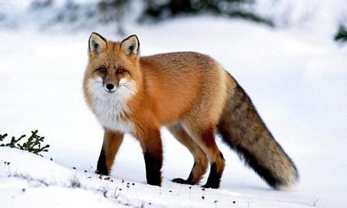 狐狸的作文100字