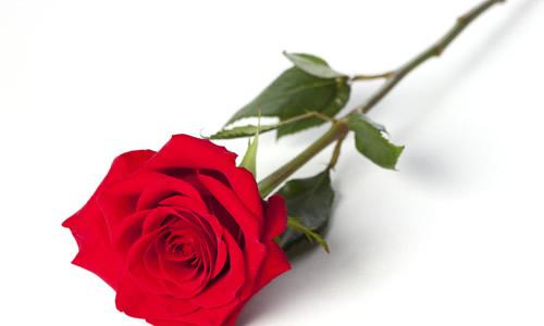 关于一朵玫瑰的作文400字