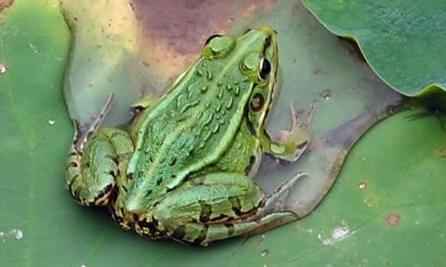 关于青蛙的作文300字8篇