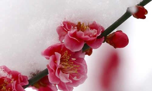 冬天的梅花龙虎娱乐app
