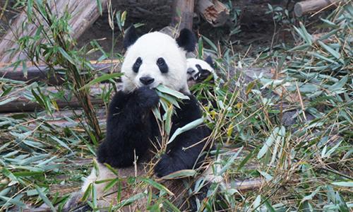 可爱的大熊猫五年级作文