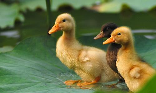 一只活泼可爱的小鸭子