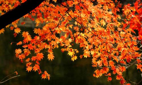 秋天的枫树作文200字