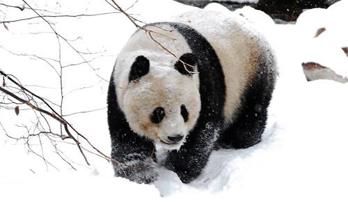可爱的熊猫作文450字