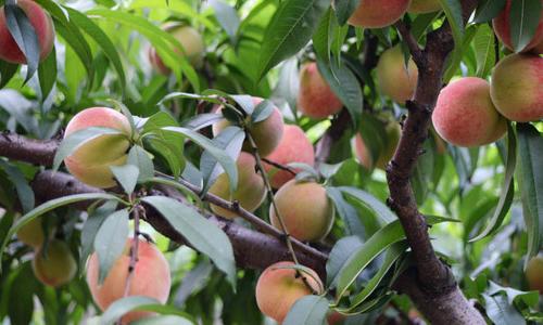 春天到了,我来到了桃树园,这时的桃树已经枝繁叶茂,桃花盛开,桃花开的