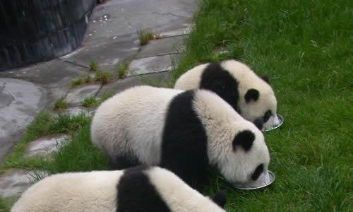 大熊猫头图片大全可爱