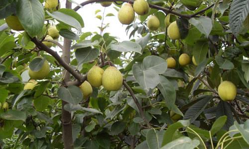 猴梨树木头图片