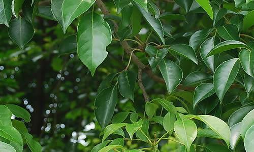它的树干和树枝都呈黑褐色,粗实而又坚硬,樟树的叶子如此之绿,绿的