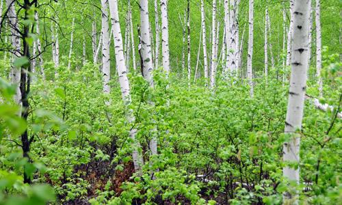 以下是小编为大家整理的关于描写白桦树作文,给大家作为参考,欢迎阅读