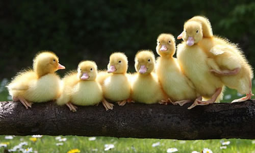 最最可爱的鸭子