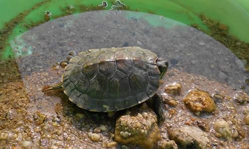 二年级作文 正文  我很喜欢我的小乌龟,没事时我总和它玩,它很有趣,有