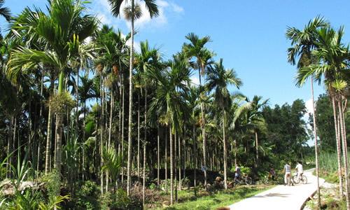 一样矮小,这棵假槟榔树已经陪伴我三年的学习生活了