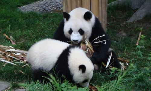 描写大熊猫的作文300字优秀范文
