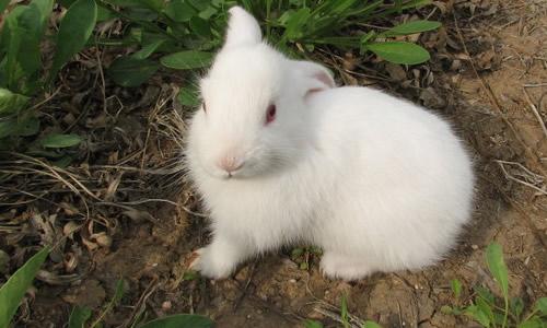 可爱的小兔子作文