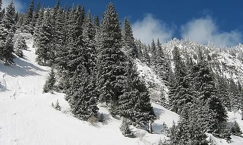 松树冬天样子的龙虎娱乐app