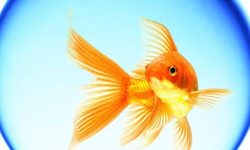 活动壁纸大全金鱼