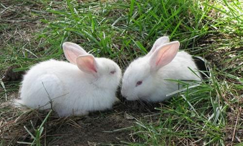 我的小兔子作文记叙文