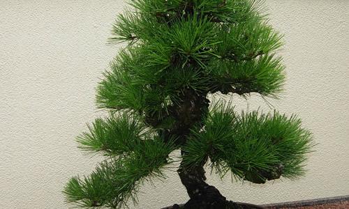 松树的叶子图片简笔画图片