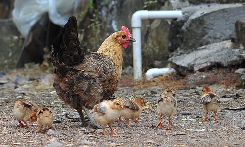 外婆家的小鸡作文400字