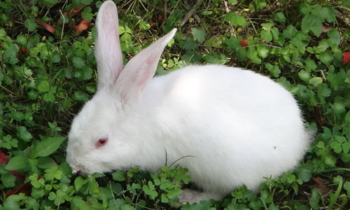 我家的小白兔作文450字