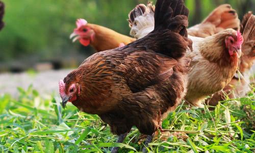 超级可爱的小鸡
