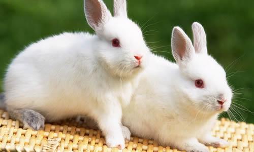 小白兔美美赶紧跑回家把口香糖拿出好几片来嚼
