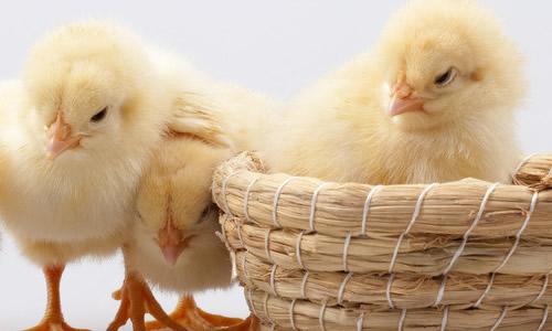 这是一只多么可爱的小鸡!