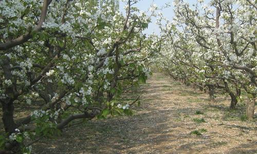 梨树枝桠矢量图