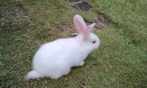 我家的小白兔作文200字
