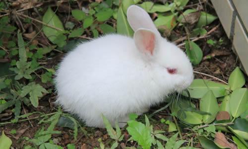 我家的小白兔作文700字