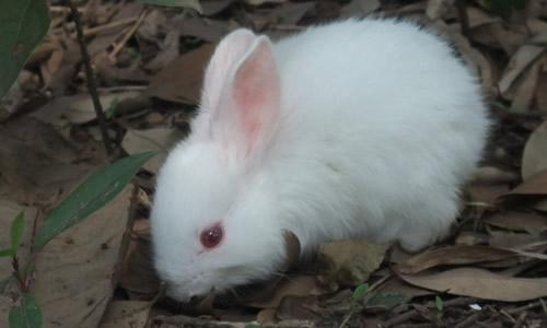 我喜欢小白兔 我从小喜欢一些小动物,尤其喜欢小白兔. 小白兔是活泼可爱的小动物,它全身雪白雪白,没有一点别的颜色,看上去就像是用洁白无瑕的白玉雕刻成的;它的眼睛是红色的,好像两颗闪闪发光的红宝石。它常常灵活地转动红眼珠,向周围扫视,仔细观察各处的动静。 小白兔胆子特别小,只要听到一点声音,它就把两只又长又大的耳朵竖起来,灵巧地四面转动,寻找发出声音的地方,直到声音没了,才恢复常态。它的嘴有三瓣,上唇两瓣,下唇一瓣。吃起东西来,它把嘴巴张得大大的,发出一阵阵啧、啧的声音。小白兔的尾巴很短,活像一个绒球球贴