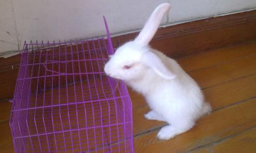 我喜欢小白兔作文400字