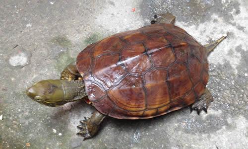 乌龟的作文100字二年级